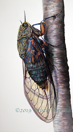 cicada Okanagana rimosa.png