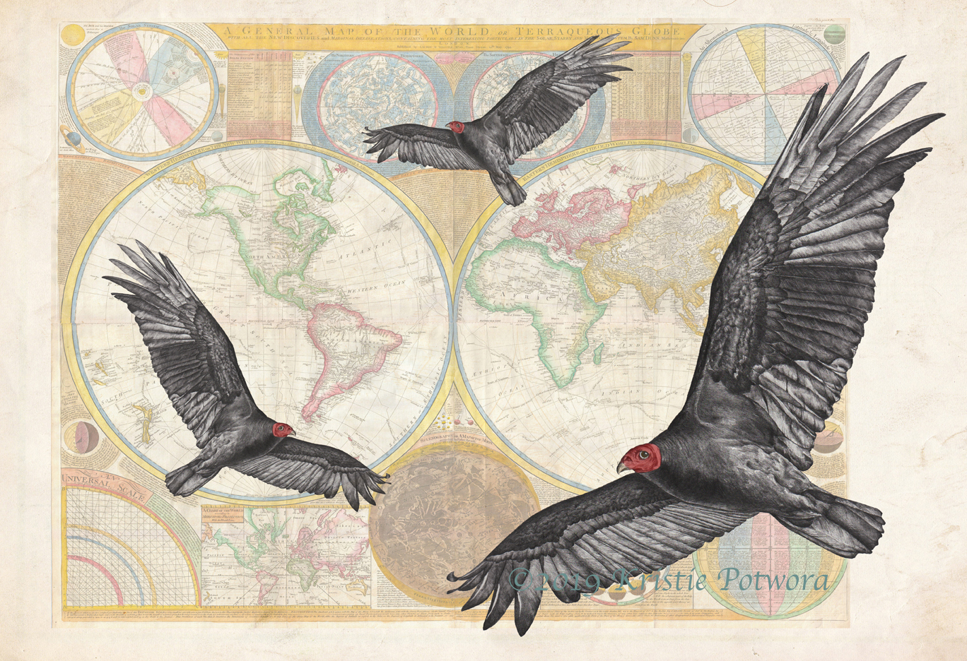 New World Vulture Illustration