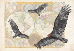 New World Vulture Illustration