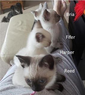 4 siamese - Reed Harper Fifer Bria.jpg