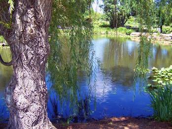 weeping_willow_beside_pond_195254.jpg