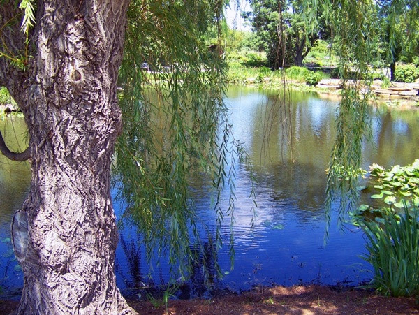 weeping_willow_beside_pond_195254.jpg