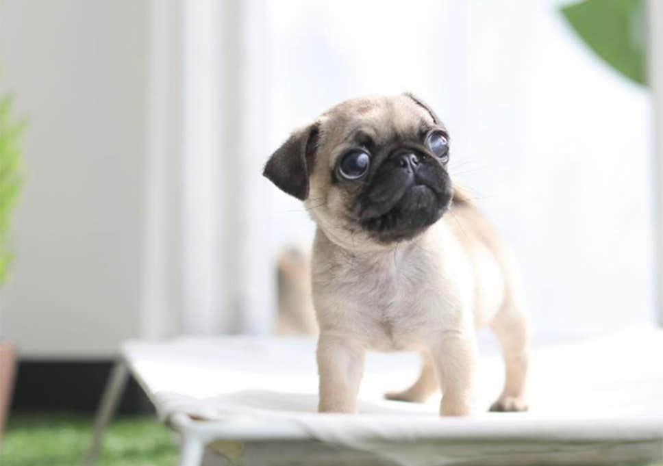 baby pug on a cot
