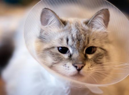 Preparing for Your Pet's Neuter at Media City Animal Hospital