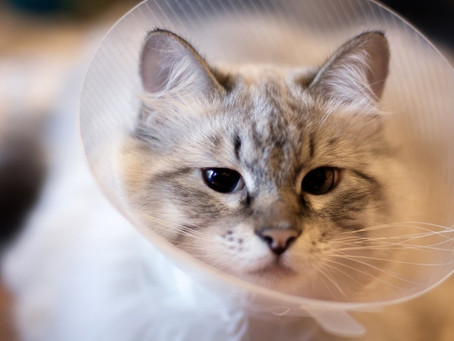 Preparing for Your Pet's Neuter at Media City Animal Hospital