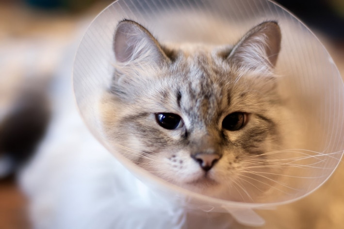 cat in an Elizabethan surgical collar