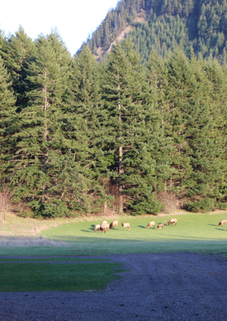 Elk at Wind Mountain Ranch