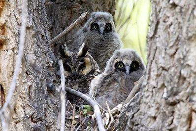 grey owls in tree