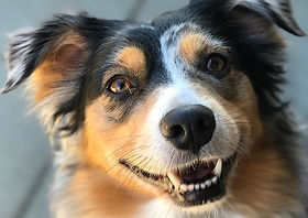 TRIXIE___We've been working with this gorgeous #AustralianShepherd for just over a month and have fa