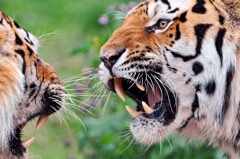 Tigers at odds with each other