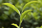 Green Tea cannabidiol hemp CBD tattoo aftercare