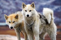 Greenlandic Dogs