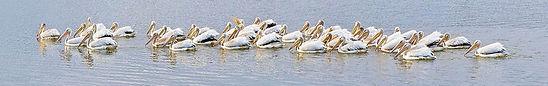White-Pelicans-V5-web.jpg