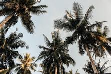 coconut-coconut-trees-island-804410.jpg