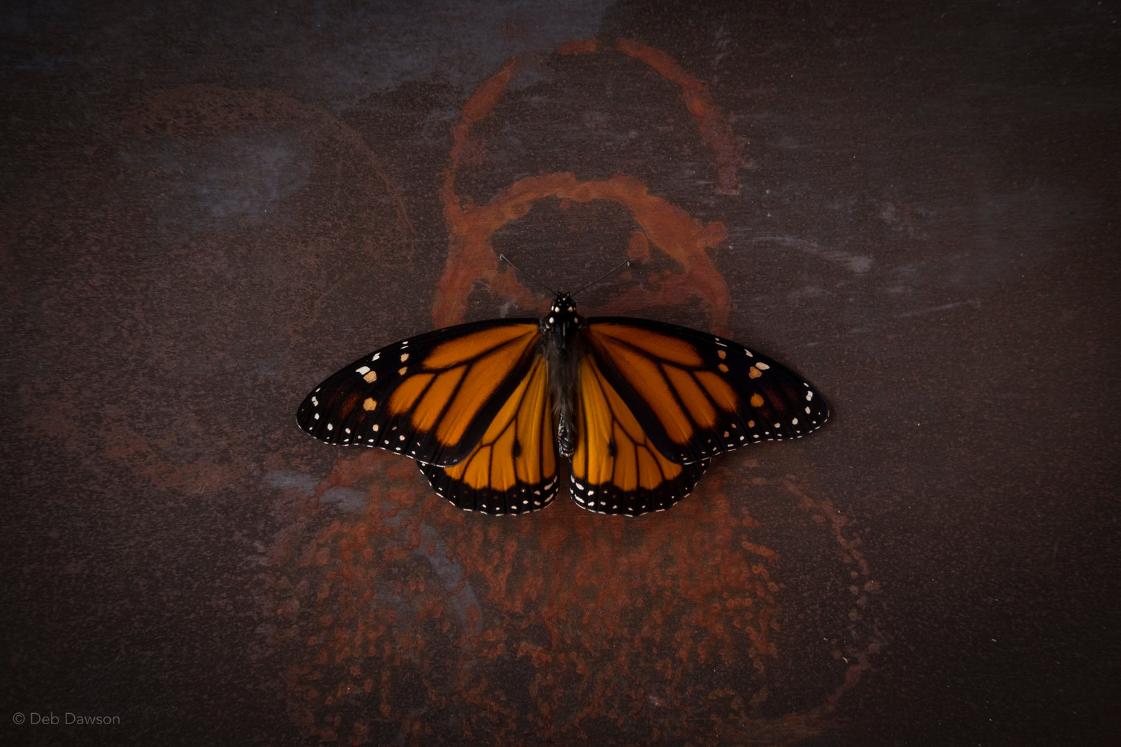 September Monarch