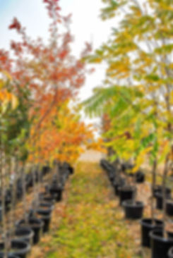 Trees at the Nursery