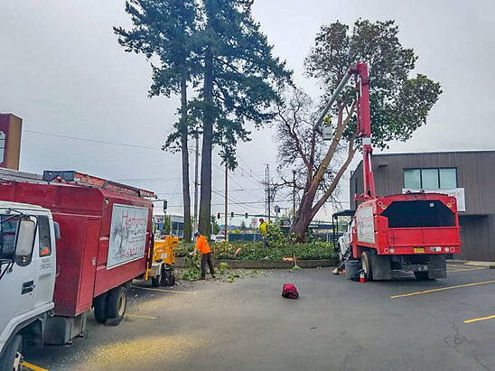Herford's Tree Care removin a dangerous tree.