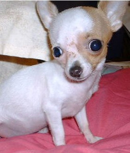 Here is Debbie's 2lb 4oz chihuahua. She is the head of security. Scary isnt she??