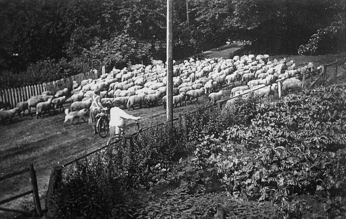 Frau-Hübenbecker-mit-ihren-Schafen