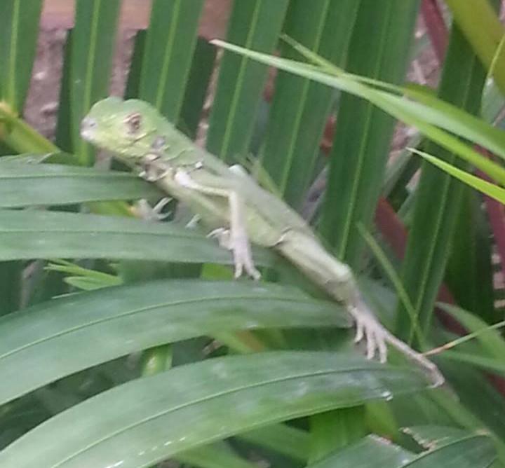 Un bébé iguane dans les palmiers de Blue Haven