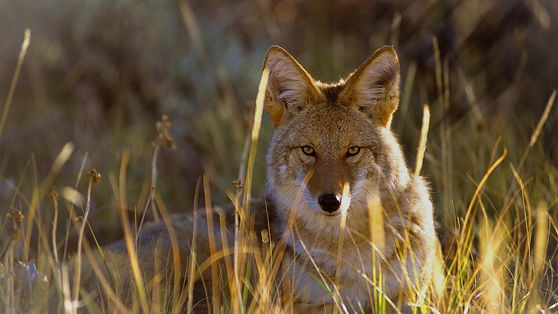 coyote%20fence_edited.jpg