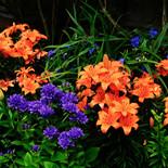 Lilies and Campanula