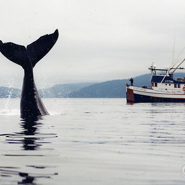 Humpback Whale re-entry