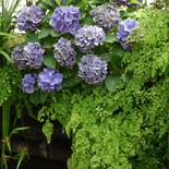 Hydrangeas and Maidenhair