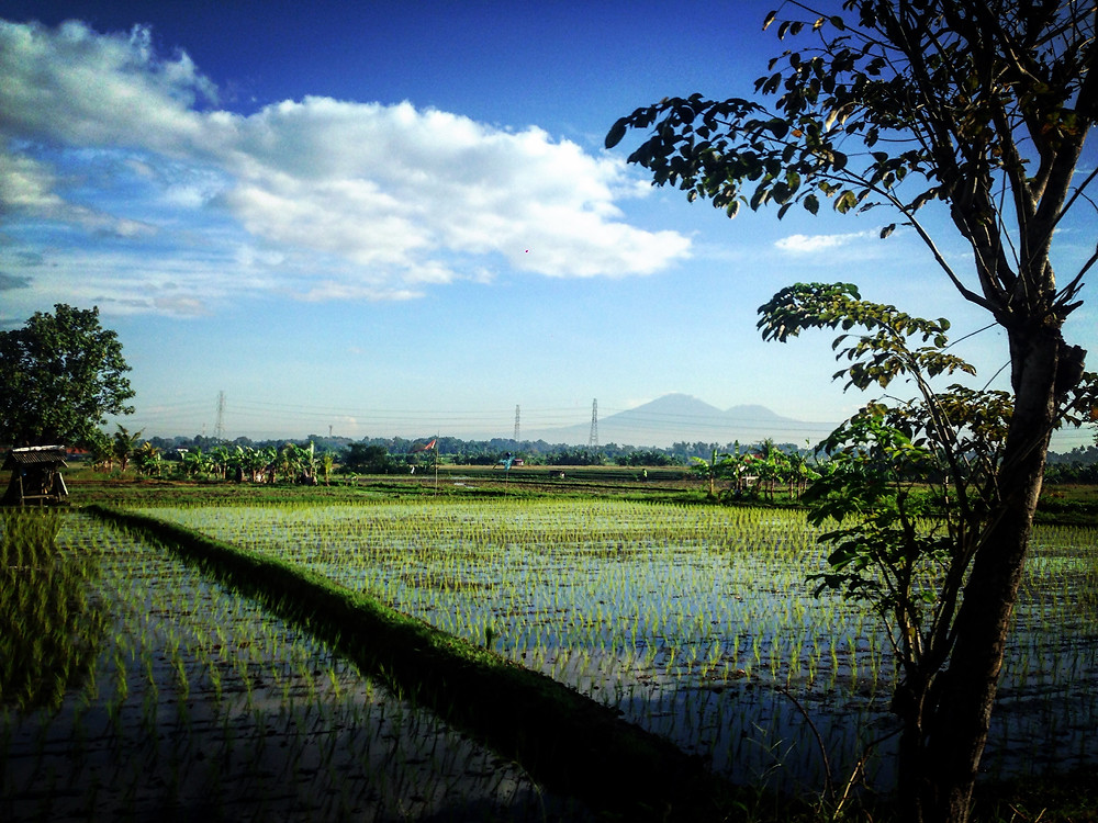 Rice fields with Mt Agung and Mt Batur in the far distance