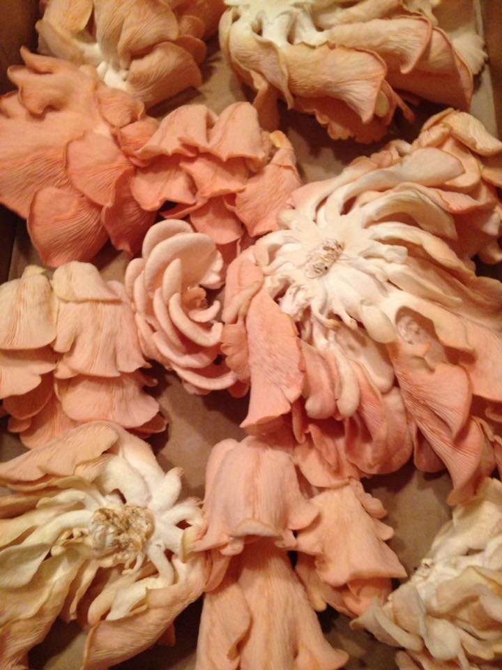 Professor's pink oyster mushrooms in hays ks