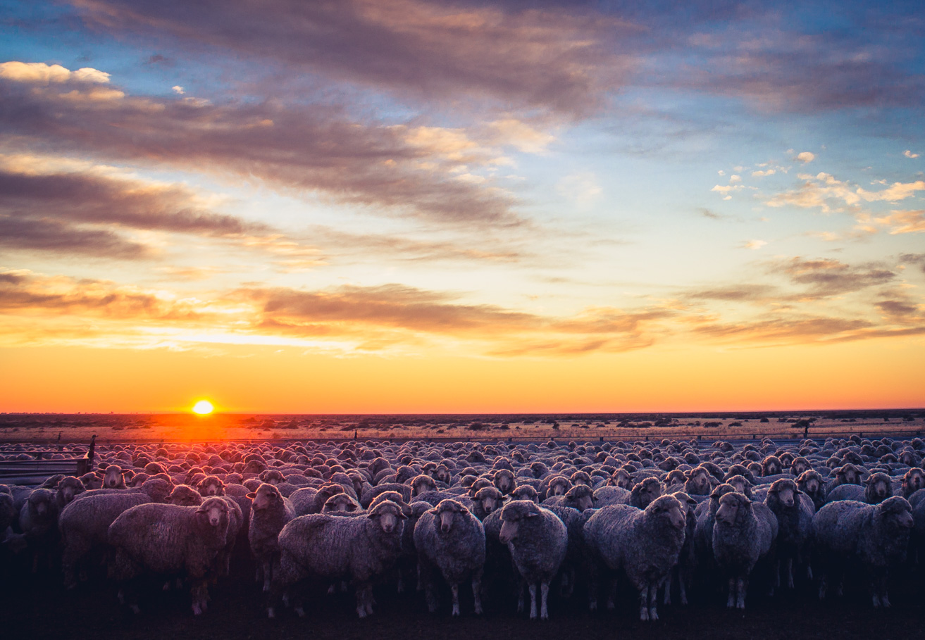 Ewes at sunrise