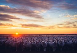 Ewes at sunrise