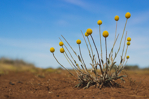 'Billy Buttons by a Dirt Road'