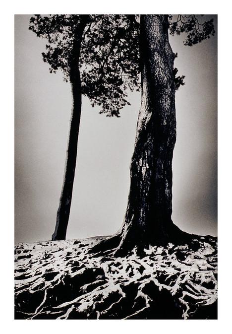 Scots Pine Snow Roots