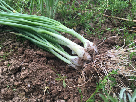 Scallions & Spring Onions