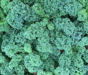 Kale-500-x-426.jpg