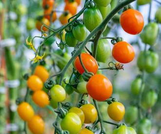 Tomatoes-500-x-416.jpg