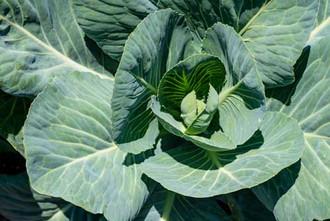 Cabbage-500-x-334.jpg