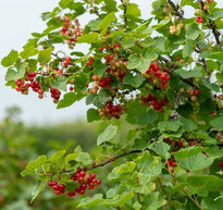 Red-Currant-500-x-470.jpg