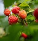Raspberry-500-x-540.jpg