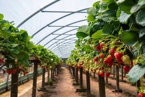 Strawberry-500-x-334.jpg