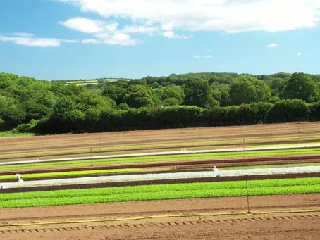Salad Production at Canara Farm