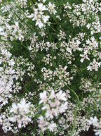 coriander-flowers-500-x-667.jpg