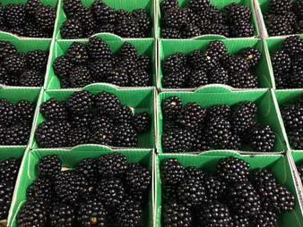 Blackberry-500-x-375.jpg