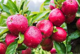 Apples-500-x-334.jpg