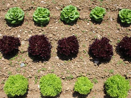 Salad Leaves At Canara