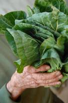 cabbage-500-x-753.jpg