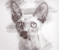 HairlessCat-Pencil.jpg