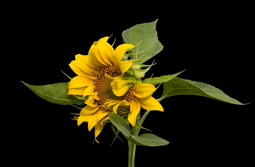 Sunflower 4687.jpg