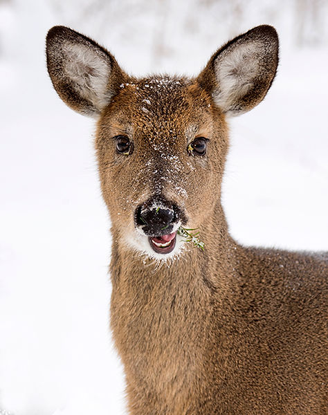 Whitetail Deer YoungMale 8798